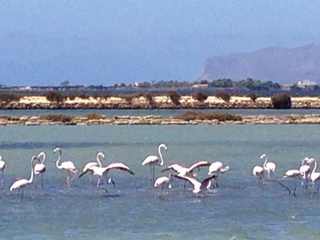 Flamingos along the Salt Road between Marsala and Trapani.  Photo by Trisha Thomas, August 29, 2014
