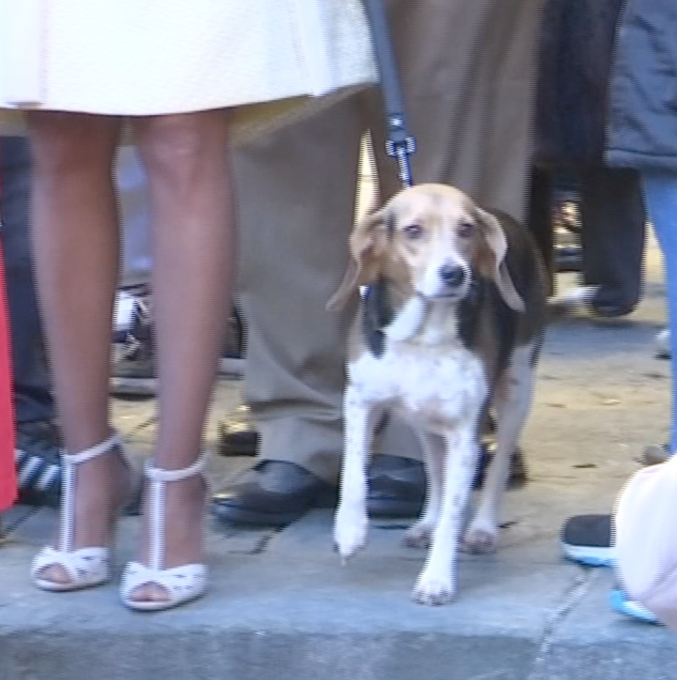 Ashley Olsen's loyal beagle Scout - looking very mournful-  leaves church following  funeral. Freeze frame of video shot by AP Television Cameraman Gigi Navarra. January 15, 2015