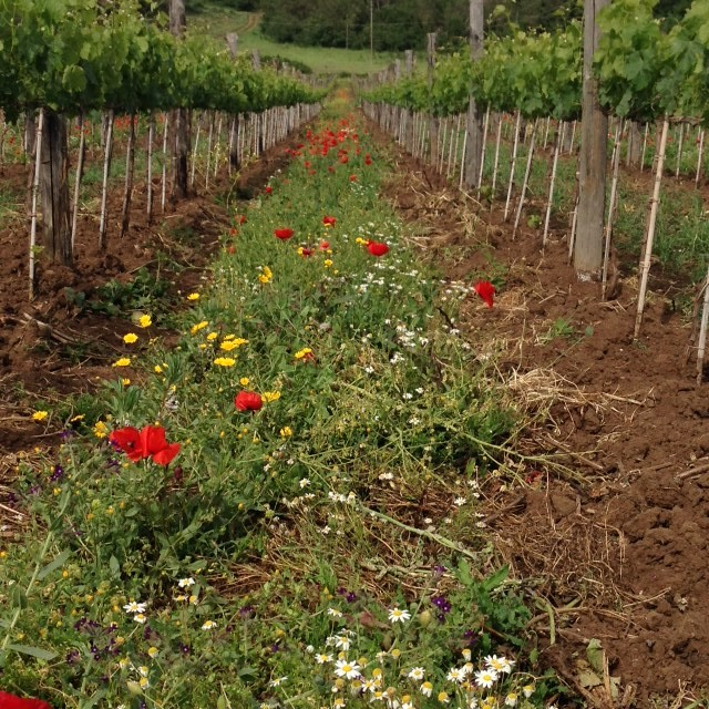 Poppy flowers grow between the rows of grapevines at the Fattoria Fiorano. Photo by Trisha Thomas, April 30, 2016