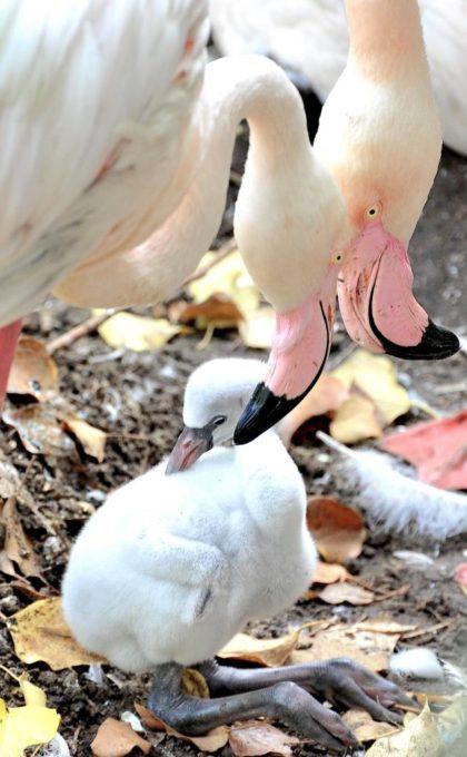 A baby flamingo at Rome's zoo.  Photo Credit: Massimiliano Di Giovanni